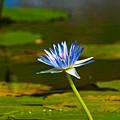 Blue Lily by Darren Burton