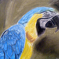 Blue Macaw by Masaad Amoodi