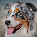 Blue Merle Australian Shepherd by Jai Johnson