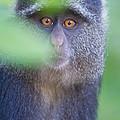 Blue Monkey Cercopithecus Mitis, Lake by Panoramic Images