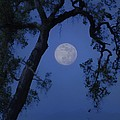 Blue Moon Horse And Oak Tree by Stephanie Laird