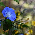 Blue Morning Glories by Linda Unger