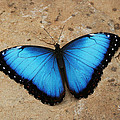 Blue Morpho #2 by Judy Whitton