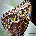 Blue Morpho Butterfly Costa Rica by Carrie Cranwill