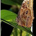 Blue Morpho Butterfly by Davandra Cribbie
