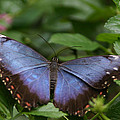 Blue Morpho Butterfly by Denyse Duhaime
