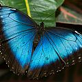 Blue Morpho Butterfly by Doug McPherson