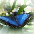 Blue Morpho Butterfly Dsc00575 by Greg Kluempers