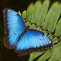 Blue Morpho Butterfly On Fren Dsc00441 by Greg Kluempers