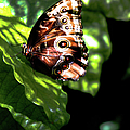 Blue Morpho Butterfly by Optical Playground By MP Ray