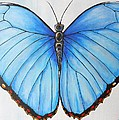 Blue Morpho Butterfly by Patricia  Dames
