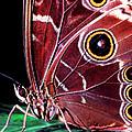 Blue Morpho Butterfly by Thomas R Fletcher
