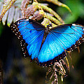 Blue Morpho Butterfly by Vanessa Valdes