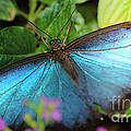 Blue Morpho by Jackie Farnsworth