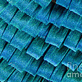 Blue Morpho Wing Scales by Raul Gonzalez