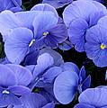 Blue Pansies by AJ  Schibig