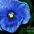 Blue Pansy by Kaye Menner