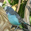 Blue Parakeet by Renee Barnes