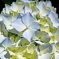 Blue Pastel Floral Art Prints Hydrangea Flowers by Baslee Troutman