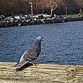 Blue Pigeon by Tikvah's Hope