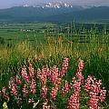 M-05925-blue Pod Lupine And Wallowa Mountain by Ed  Cooper Photography