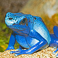 Blue Poison Dart Frog by Millard H. Sharp