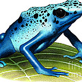 Blue Poison Dart Frog by Roger Hall