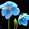 Blue Poppy Flowers # 4 by Jeannie Rhode