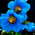 Blue Poppies by Shere Crossman