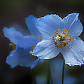 Blue Poppy by Jacqui Boonstra