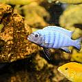 Blue Reef Fish by Chris Smith