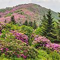 Blue Ridge Mountain Rhododendron - Roan Mountain Bloom Extravaganza by Bill Swindaman