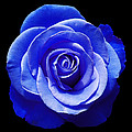 Blue Rose by Aimee L Maher ALM GALLERY