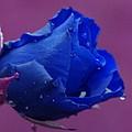 Blue Rose by Carol Lynch