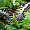 Blue Sea Butterfly by Shari Nees