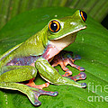 Blue-sided Tree Frog by BG Thomson