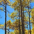 Blue Skies And Golden Aspen Trees by Amy McDaniel