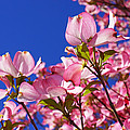 Blue Sky Art Prints Pink Dogwood Flowers by Baslee Troutman
