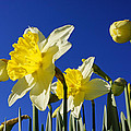 Blue Sky Spring Bright Daffodils Flowers by Baslee Troutman