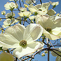 Blue Sky Spring White Dogwood Flowers Art Prints by Baslee Troutman