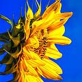 Blue Sky Sunshine Sunflower by Bob Orsillo