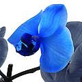 Blue Splash Phalaenopsis Orchid by Bill Swartwout Fine Art Photography