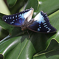 Blue-spotted Charaxes Butterfly #2 by Judy Whitton