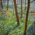 Blue Spring Flowers In Forest by Elena Elisseeva