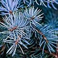 Blue Spruce by Steve Harrington
