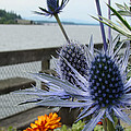 Blue Star Sea Holly by Beverly Guilliams