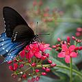 Blue Swallowtail Butterfly  by Saija  Lehtonen