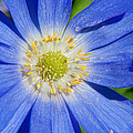 Blue Swan River Daisy by Tikvah's Hope