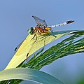 Blue Tail Dragonfly On Navarre Beach by Jeff at JSJ Photography