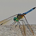 Blue Tail Dragonfly On Navarre Beach2 by Jeff at JSJ Photography